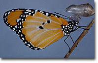Photo of butterfly just after emerging from cocoon